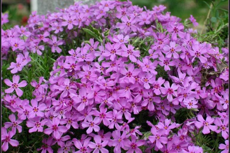Флокс - растение для альпийской горки