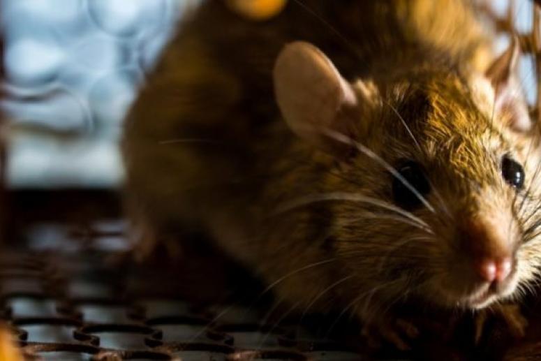 Редкая крысиная болезнь убила 42-летнюю женщину
