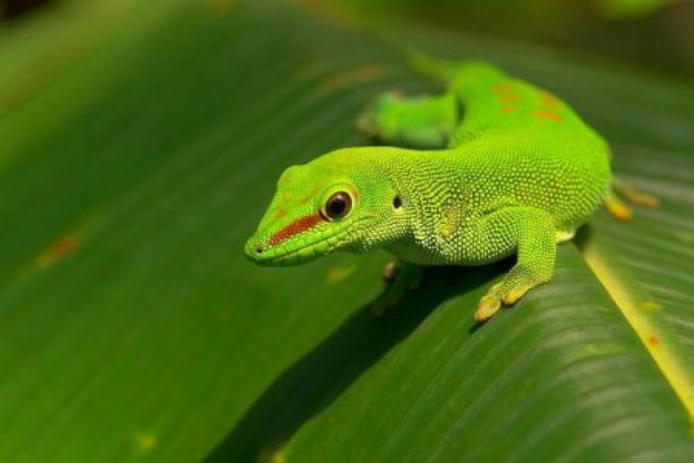 У женщины в ухе поселился геккон