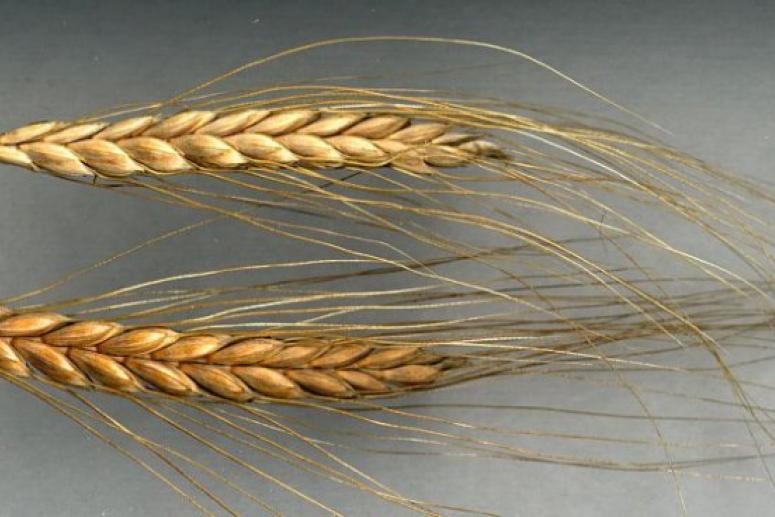 Впервые полностью расшифрован геном предка всех сортов пшеницы