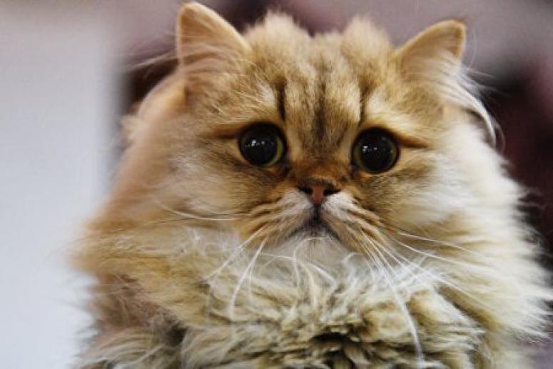 Врачи рассказали о пользе кошачьего мурлыканья