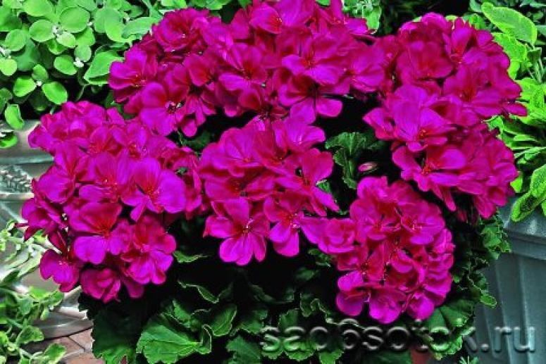 Герань, лилии и другие комнатные цветы, от которых может разболеться голова