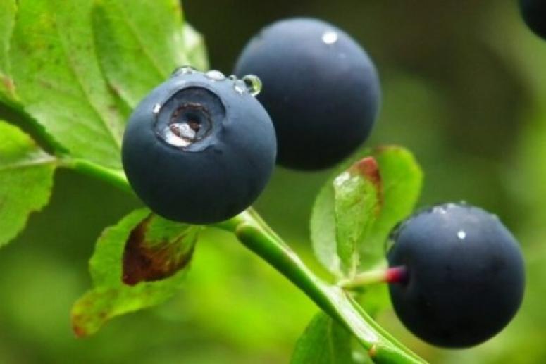 Ягоды черники полезны для сердечно-сосудистой системы и снижают риск развития рака