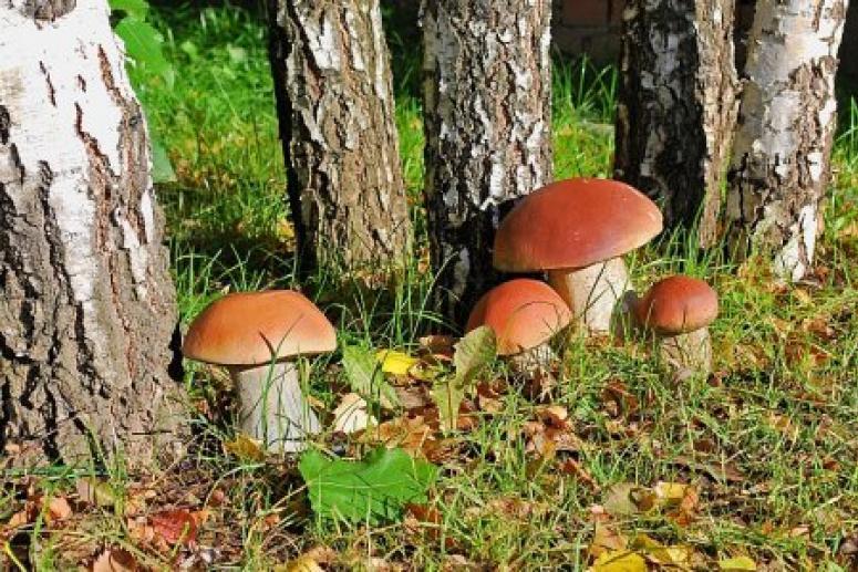 МЧС: отравиться можно и съедобными грибами